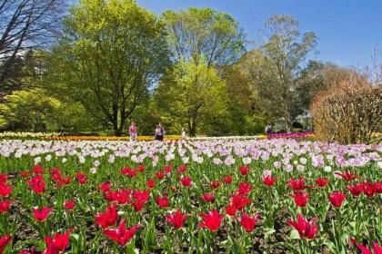 villa taranto tulipani 1